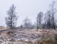 Witches' broom birch and young pine in winter landscape