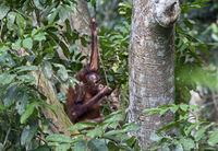 Juvenile Orang-Utan, Kabili-Sepilok Nature Reserve, Sabah, Borneo, Malaysia