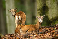 Two mouflons observing by a beech tree inside the forest in autumn nature.