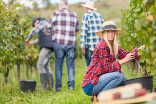 Junge Frau als Erntehelfer bei der Traubenlese