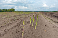 Asparagus field with shoots in Lower Saxony, North Germany