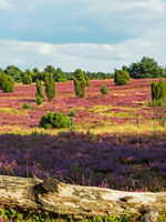 Landscape at Lueneburg Heath with tree trunk in the foreground, Lower Saxony, Germany
