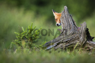 Red fox hiding behind trunk in springtime nature.