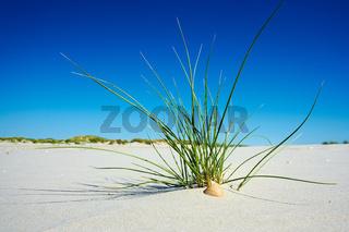 Strandgras mit Muschel