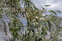 Eukalyptus (Eucalyptus)