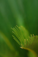 Close up evergreen Cycas plant leaves