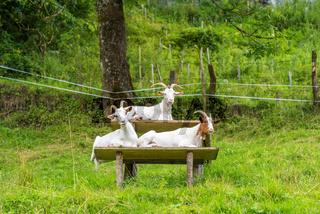 Ziegen auf der Bank