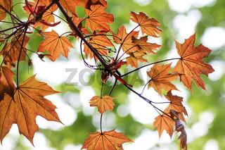 Maple tree with sunlit orange leaf in autumn
