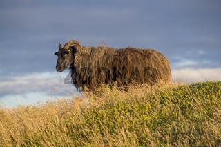 Schaf (Ovis) im Abendlicht, Helgoland