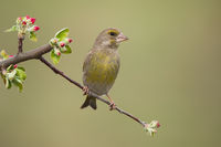 Male european greenfinch sitting on twig with red flowers and facing camera.