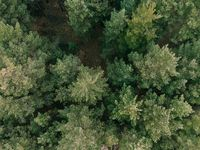 Aerial shot of pine tree forest. Ecology wonderlust background