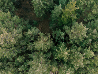 Aerial shot of pine tree forest. Ecology wonderlust background