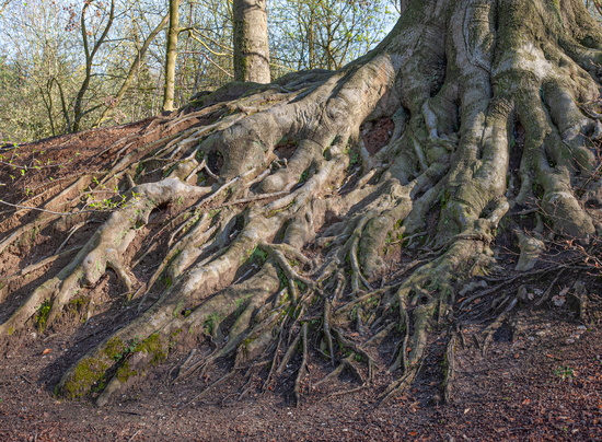 Roots in Forest of Tueschenbroich,Germany