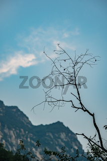Leafless tree branch on Huashan mountain in China