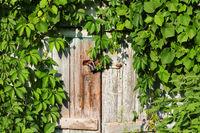 Old wooden door with vintage rusty metal lock and green leaves of wild vine
