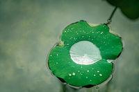 Large droplet of water inside big lotus leaf