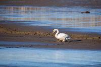 Dirty White Swan on Muddy empty pond