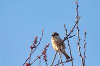 bird House Sparrow, Europe wildlife