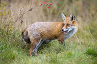 Red fox looking back behing the shoulder on grass in autumn