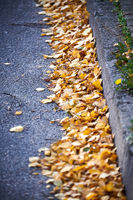 Yellow birch leaves at the roadside in autumn