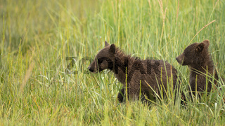 Grizzly Bear Cubs Rush to See where Mom went after getting Seperated