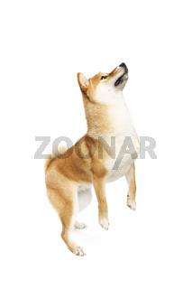 Shiba Inu Japanese breed dog