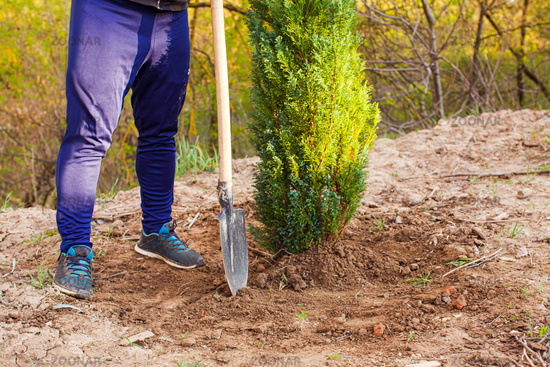 Man after succssesful planting white cedar in his garden