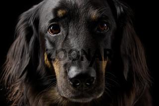 Black hovawart portrait on dark background. hovawart femaile dog on black background. black dog close-up portrait for calendar cover selective focus