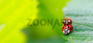 two beetle ladybug copulate on the edge of a green leaf
