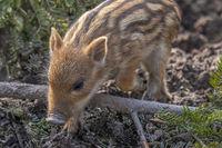 wild boar piglet 'Sus scrofa'