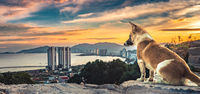 Dog overlooking sunset ,Nha Trang city, Vietnam. Panorama