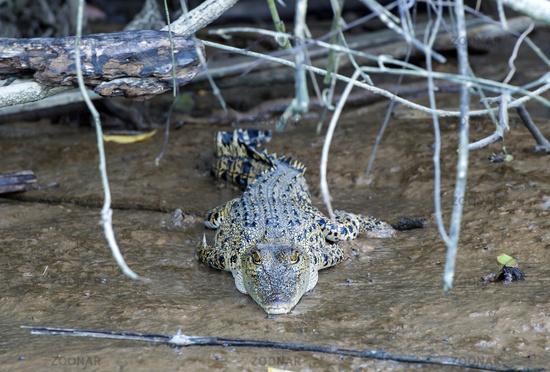 Saltwater crocodile (Crocodylus porosus), Sabah, Borneo, Malaysia