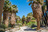 Pushawalla Palm Trees in Palm Springs, California