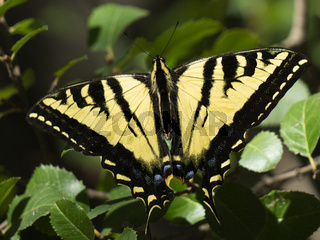 Beautiful yellow swallowtail butterfly resting on green leaves