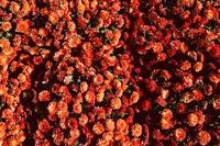 Red chrysanthemum flower field background