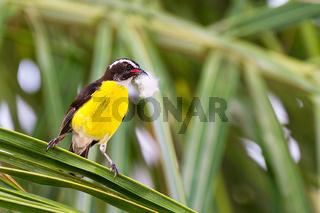 Caribbean sugar thief bird with nest material