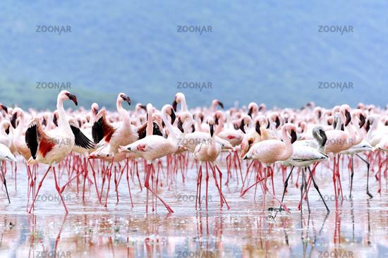 Courtship of Flamingos