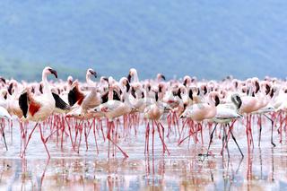 Werben der Flamingos