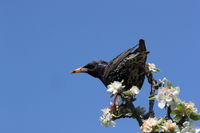 common starling or European starling (Sturnus vulgaris) germany