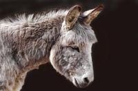 the little donkey