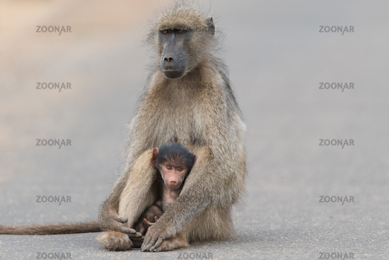 Baby baboon in the wilderness