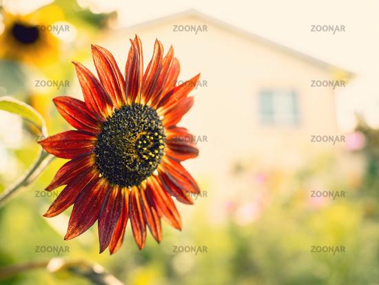 red sunflower in the garden