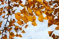 Close up yellow autumn ginkgo biloba leaves