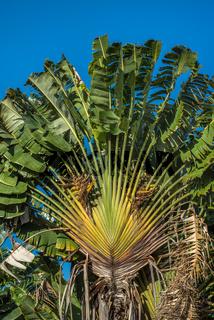 Ravenala or travellers tree, Madagascar