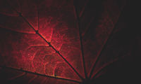 Close up of a red maple leaf partly lightened