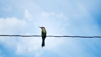 bee-eater sits on an electric wire