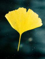 Yellow ginkgo biloba leaf stuck on glass window