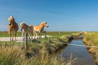 Brown Horses on a Meadow Against Blue Sky at Hallig Hooge in North Frisia, Germany