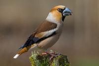 Hawfinch, Grosbeak