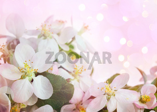 Apple blossoms against soft pink background